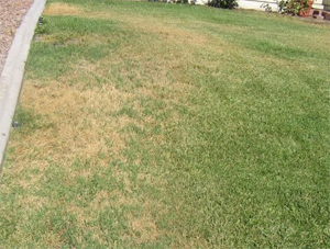 due to poor irrigation this lawn is mostly brown
